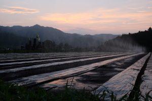 真夏の夕暮れ時、播いたばかりの人参畑に水やり。